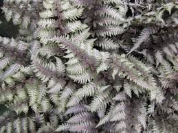 japanese native plants regal red japanese painted fern monrovia regal red japanese