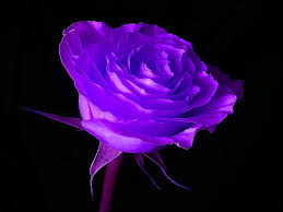 halloween dark background black background wallpaper free free purple rose in black