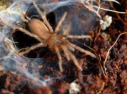 how to care for tarantula spiderlings keeping pets