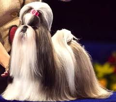 best 25 national show ideas on show akc