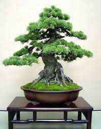 Home Decor Tree 2452 Best Bonsai Trees Images On Pinterest Bonsai Trees Bonsai