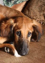 afghan hound collie mix saved by dogs let u0027s talk less common yet lovely sight hounds