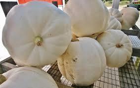 white pumpkins white pumpkins curtis orchard pumpkin patch chaign il