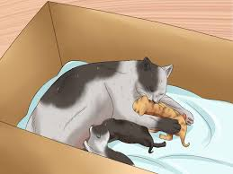 how to move newborn kittens 8 steps with pictures wikihow