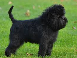 affenpinscher terrier mix affenpinscher dog fun animals wiki videos pictures stories