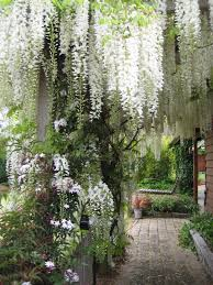 wisteria hanging in sheer curtains draping over the trees and the