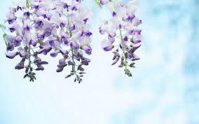 wisteria hd wallpapers 7 flower wallpapers free download