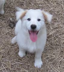 australian shepherd lab mix puppy 136 best cute images on pinterest animals adorable animals and cats