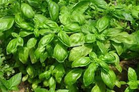 basilico in vaso malattie come coltivare basilico la semina le cure la raccolta e la