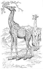 vintage giraffe clipart explore pictures