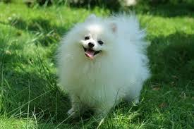 american eskimo dog price in india pet animals bloodhound manufacturer u0026 importer from bengaluru