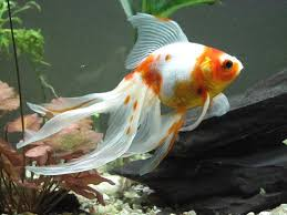 tropical fish pictures popular goldfish types and pictures fish