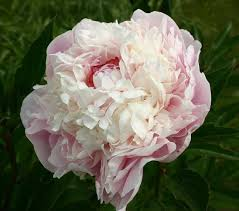 wholesale peonies 17 best white blush peony images on blush peonies