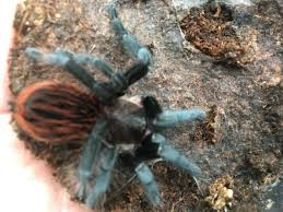tarantula pets rehome buy and sell in brighton east