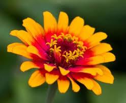 zinnia flowers flower facts zinnia grower direct fresh cut flowers presents