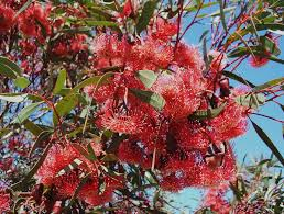 australian native plant species eucalyptus kingsmillii a western australian species which is a