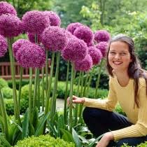 allium flowers allium flower bulbs ornamental bulbs high country gardens