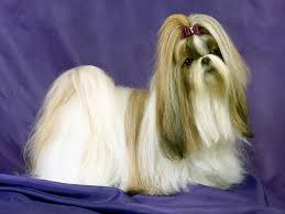 history of lhasa apso dogs animals library