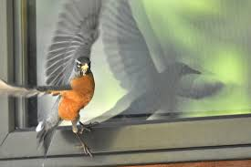 why are birds attacking my windows mental floss