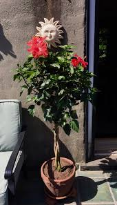 Braided Hibiscus Tree Pictures by Italian Pigs Ate My Hostas U2013 La Voce Di New York