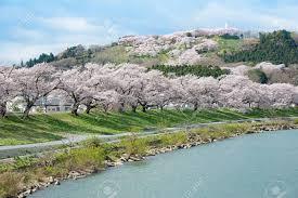 the cherry blossom trees along the bank of shiroishigawa