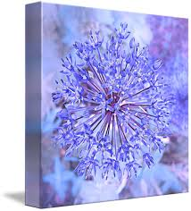 allium flowers allium flower in blue by i flowers