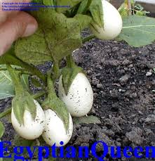 plantfiles pictures ornamental eggplant easter egg plant