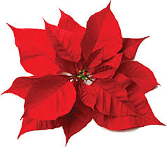 christmas flowers christmas flowers poinsettia and