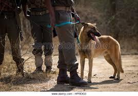belgian malinois en espanol belgian malinois military working dog stock photos u0026 belgian