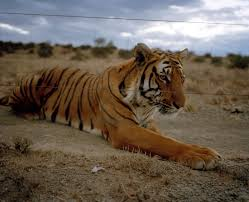 the south china tiger is functionally extinct stuart bray has 19 a south china tiger in its enclosure