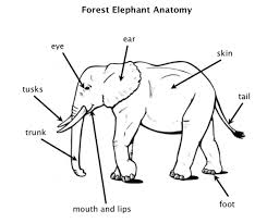 image result for parts of the elephant animals pinterest