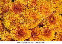 chrysanthemum clipart fall mums pencil color