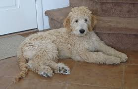 poodle y bichon frise designer mixed breed dogs pictures of cross breed puppies and dogs