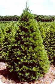 white pine tree easternwhitepine jpg