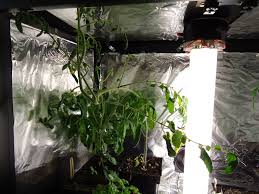 light requirements for growing tomatoes indoors thyme to garden now jelly bean tomatoes growing indoors