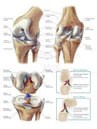 Knee Anatomy Pics Functional Anatomy Of The Knee U2013 Jackie Kustan Medical Illustration