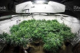 Grow Room Lights Garden Of Marijuana Plants Under Lights Of Indoor Grow Room Stock