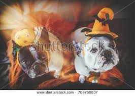 Halloween Costumes English Bulldogs Dog Halloween Costume Stock Images Royalty Free Images U0026 Vectors
