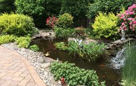 our backyard goldfish koi pond is looking nice in june youtube