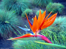 flowers los angeles bird of paradise flower los angeles california flowers c flickr