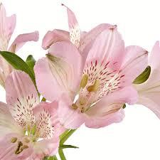 alstroemeria flower wholesale alstroemerias purple peruvian lilies in
