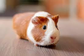 Shaved Guinea Pig Meme - 150 gorgeously cute guinea pig names names for guinea pigs