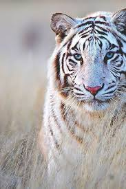 white tiger pictures photos and images for
