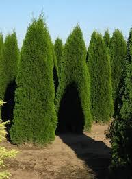 the on trees columnar fastigiate trees