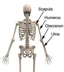 Knee Bony Anatomy Tricep Strain Strained Tricep Physioadvisor Physioadvisor