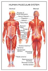 Anatomy Of Human Back Muscles Diagram Of Female Back Muscles Human Anatomy Chart