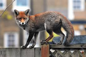 in london red foxes are plentiful and right at home la times