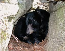 does a bear den in the woods missouri department of conservation