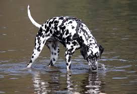 dalmatian dog breed information pictures u0026