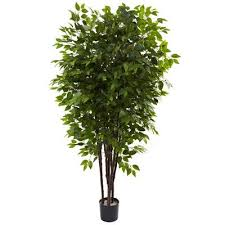 best 25 ficus tree ideas on ficus tree indoor ficus